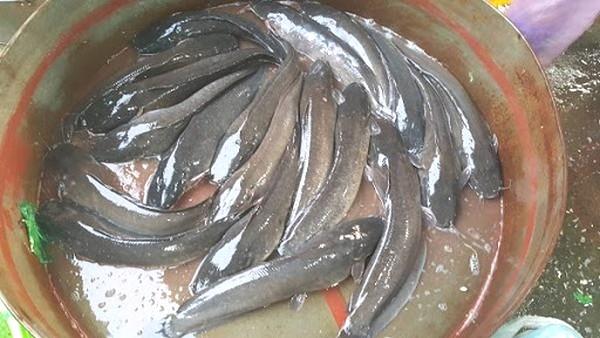 Nuôi cá trê trong bể lót bạt phải chọn con giống khỏe mạnh